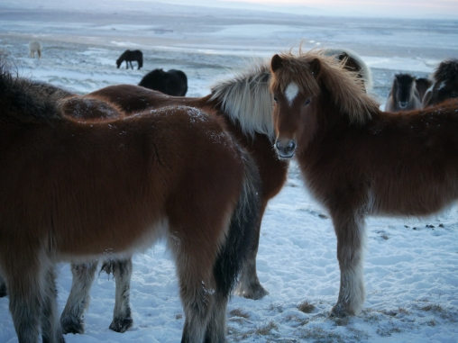 icelandic-horses-and-scenery-16
