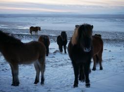icelandic-horses-and-scenery-18