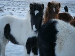 icelandic-horses-and-scenery-19