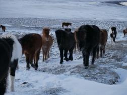 icelandic-horses-and-scenery-22